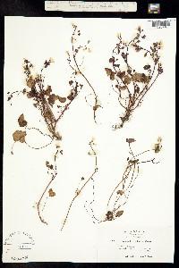 Image of Romanzoffia californica