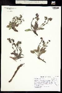 Tricardia watsonii image