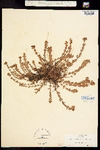 Hypericum aegypticum image