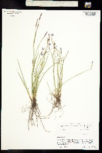 Sisyrinchium longipes image