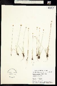 Juncus triglumis var. albescens image