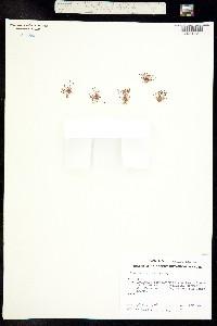 Juncus bryoides image