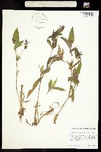 Image of Commelina anomala