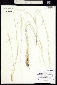 Achnatherum lettermanii image