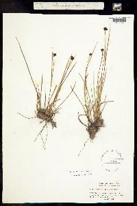 Juncus mertensianus image