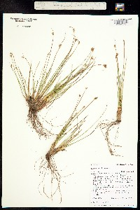 Juncus hallii image