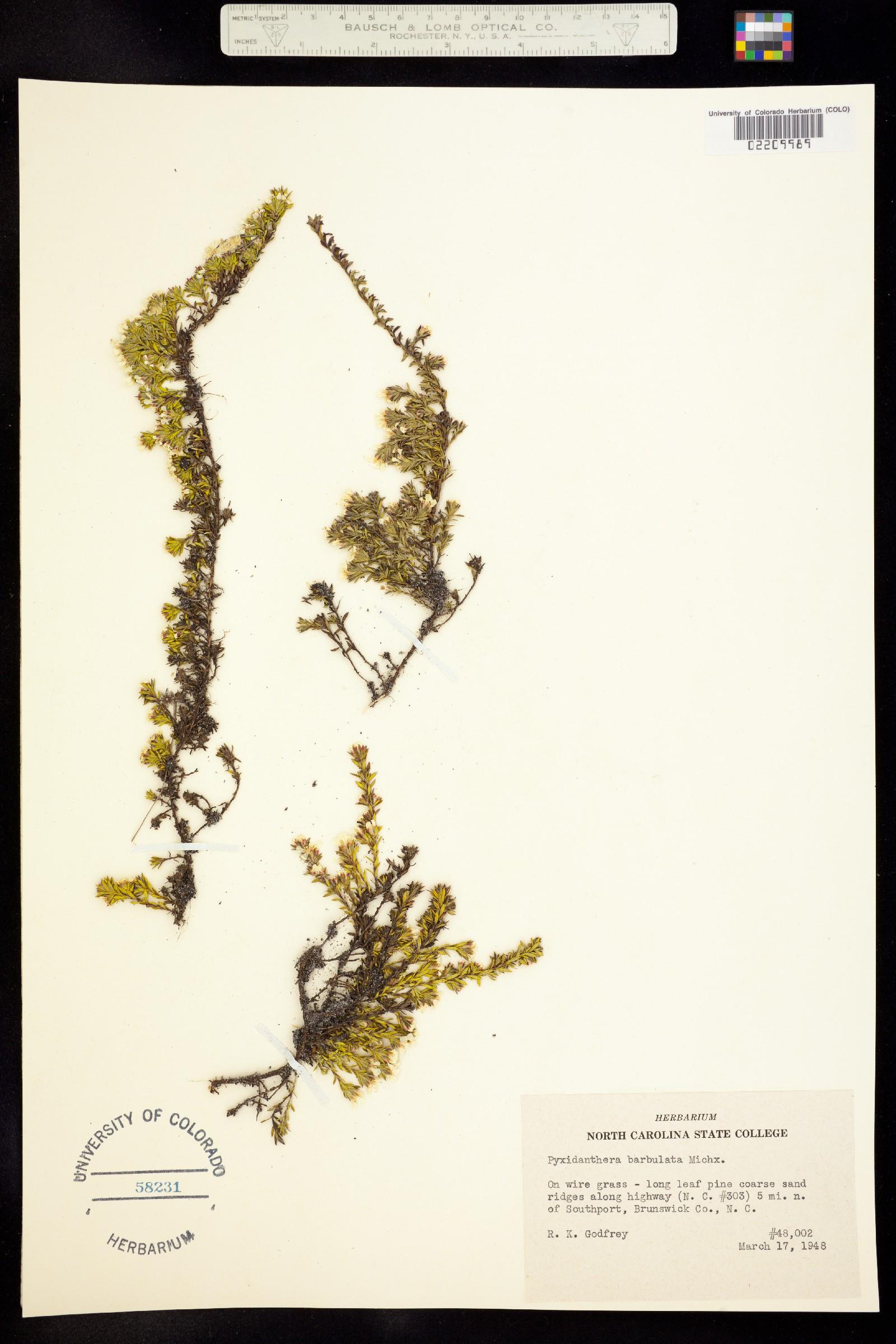 Pyxidanthera barbulata image