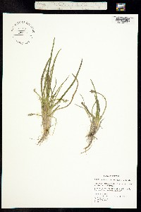 Image of Lilaea scilloides