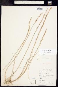 Triglochin maritima image