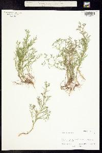 Polypremum procumbens image