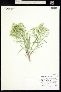 Image of Frasera coloradensis