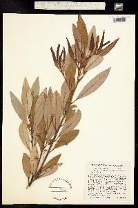 Persea palustris image