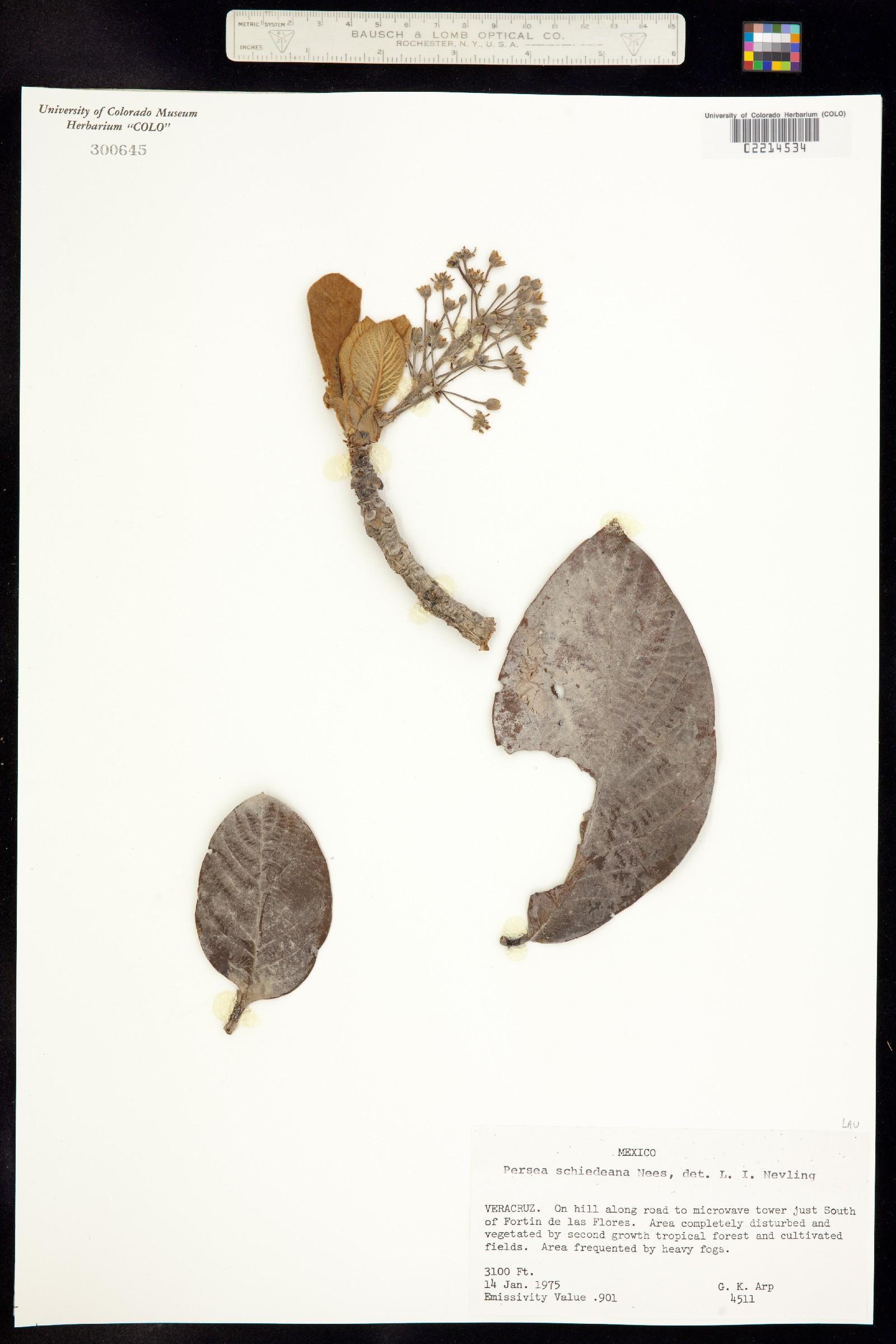 Persea schiedeana image