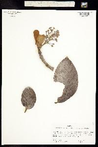Image of Persea schiedeana