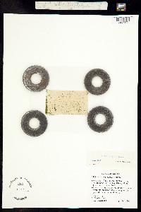 Wolffia punctata image