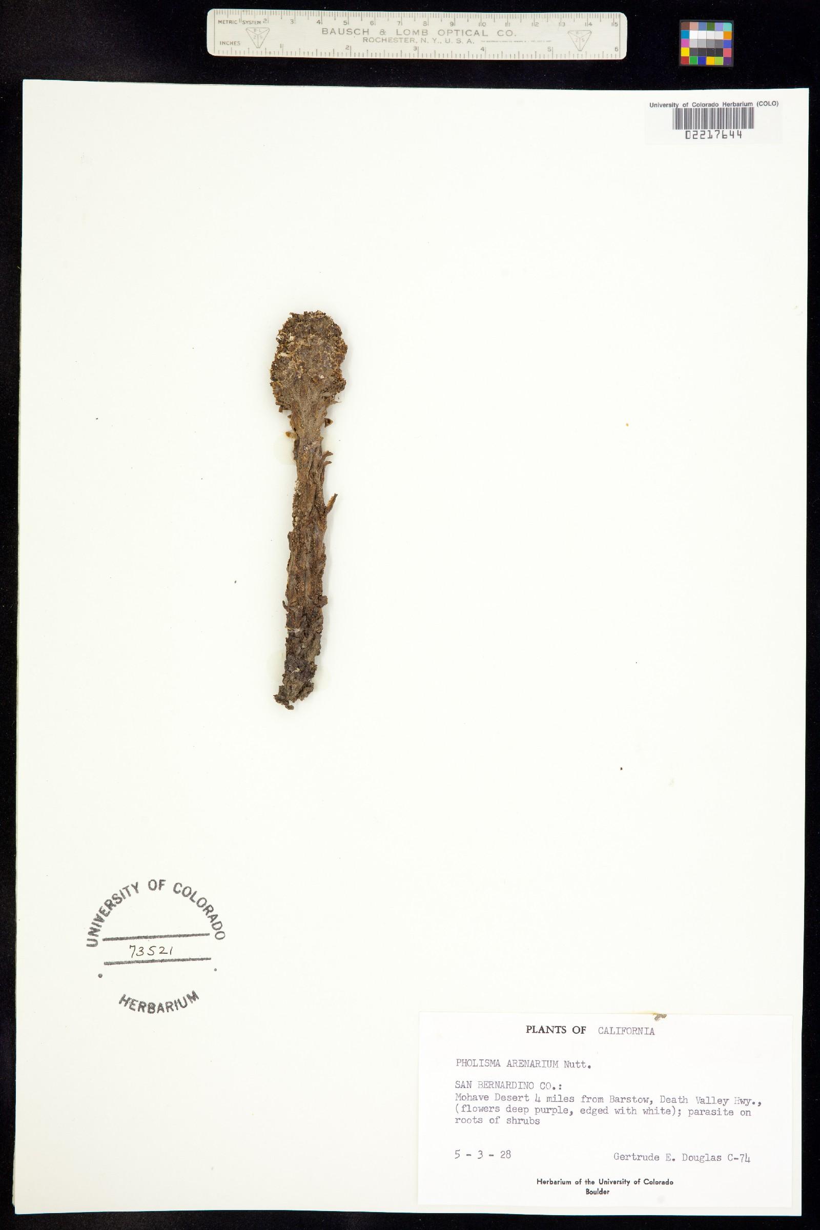 Pholisma arenarium image