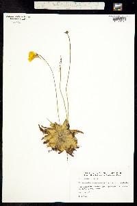Pinguicula lutea image