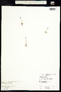 Pinguicula villosa image
