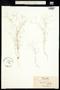 Hesperolinon micranthum image