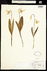 Erythronium grandiflorum image