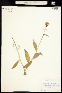 Lilium parvum image