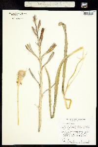 Image of Hesperocallis undulata