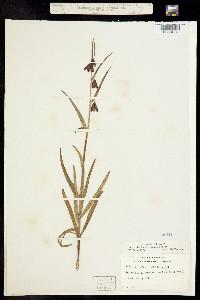 Fritillaria micrantha image