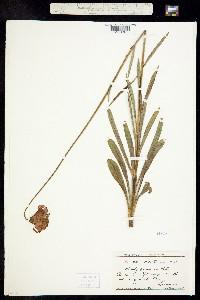 Image of Lilium maritimum