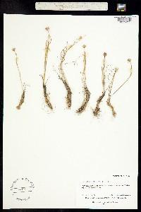 Lloydia serotina image