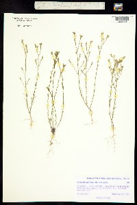 Linum australe image