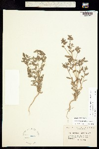Acrolasia dispersa image