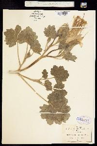 Image of Eucnide grandiflora
