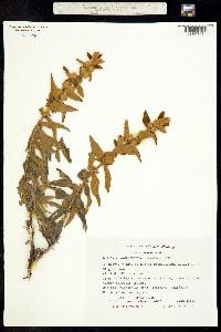 Buddleja perfoliata image