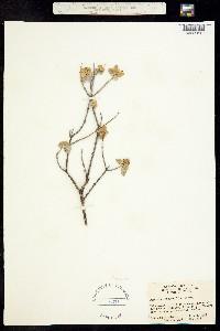 Image of Buddleja marrubiifolia