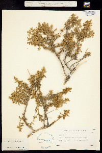 Buddleja scordioides image