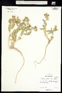 Mentzelia marginata image