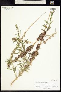 Image of Buddleja alternifolia