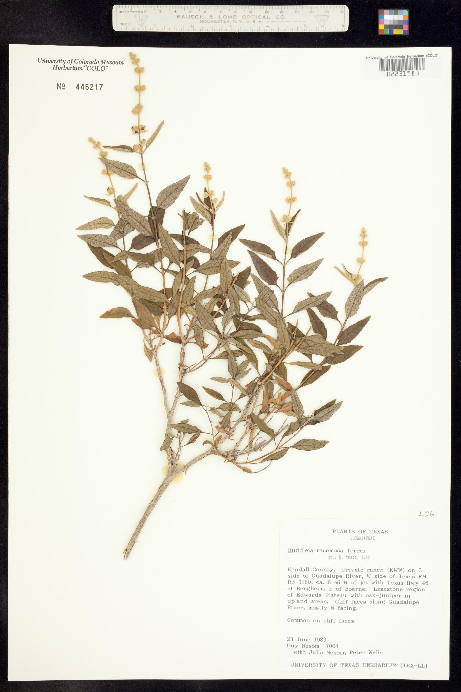 Buddleja racemosa image