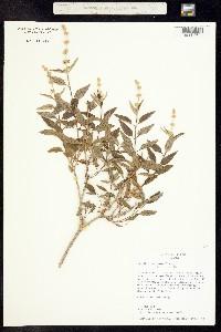 Image of Buddleja racemosa
