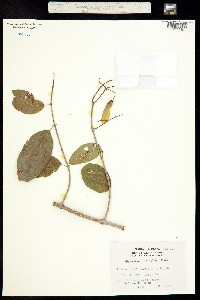 Banisteria cotinifolia image