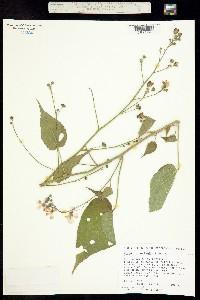 Anoda abutiloides image