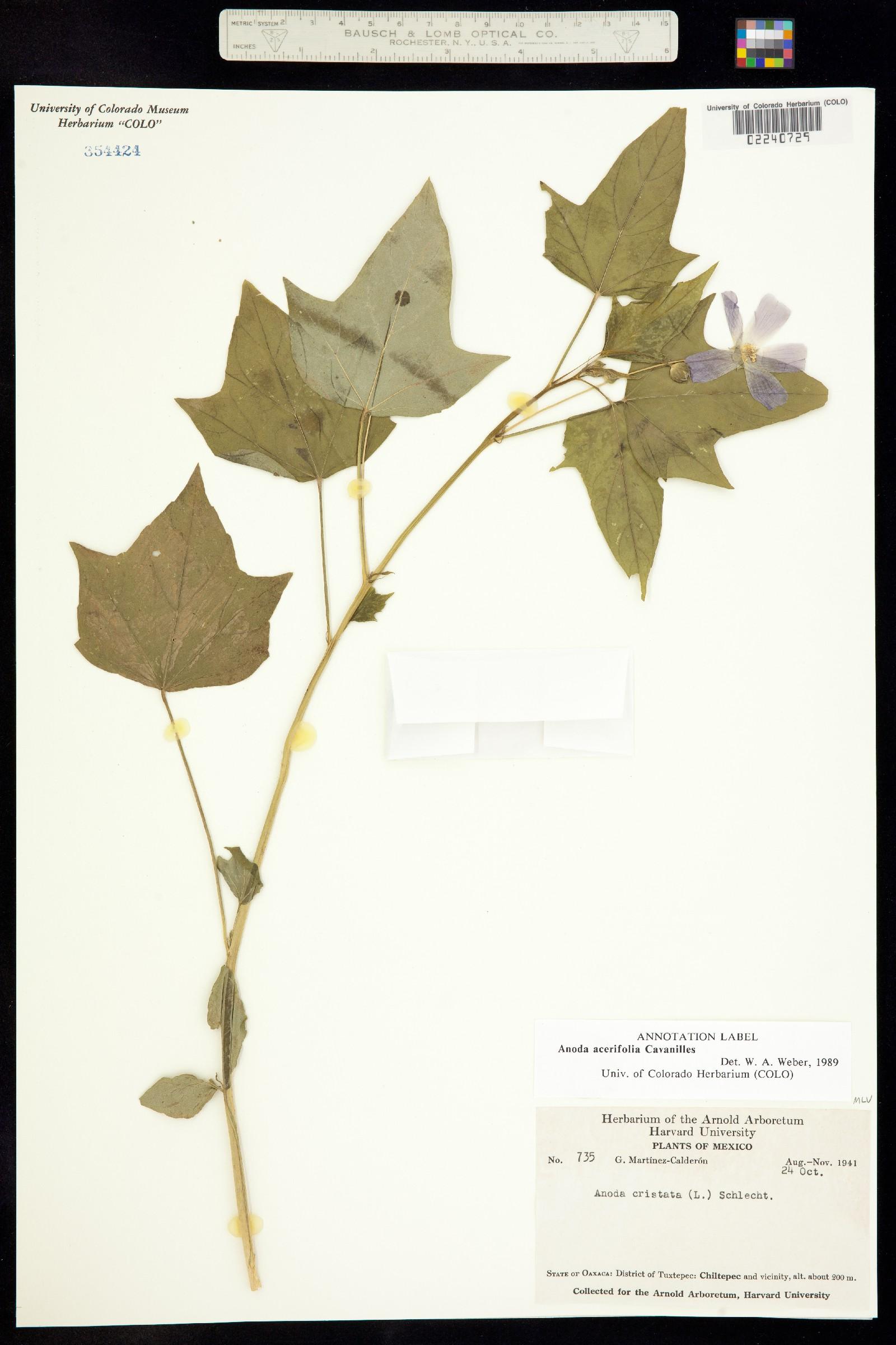 Anoda acerifolia image