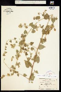 Image of Bastardia bivalvis
