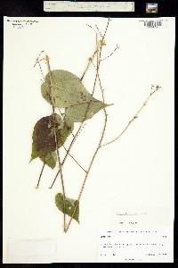 Image of Briquetia inermis