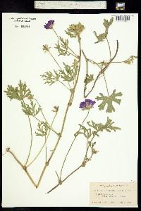 Callirhoë involucrata image