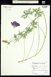 Callirhoe involucrata image