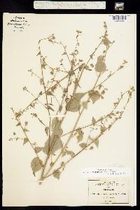 Image of Abutilon trisulcatum