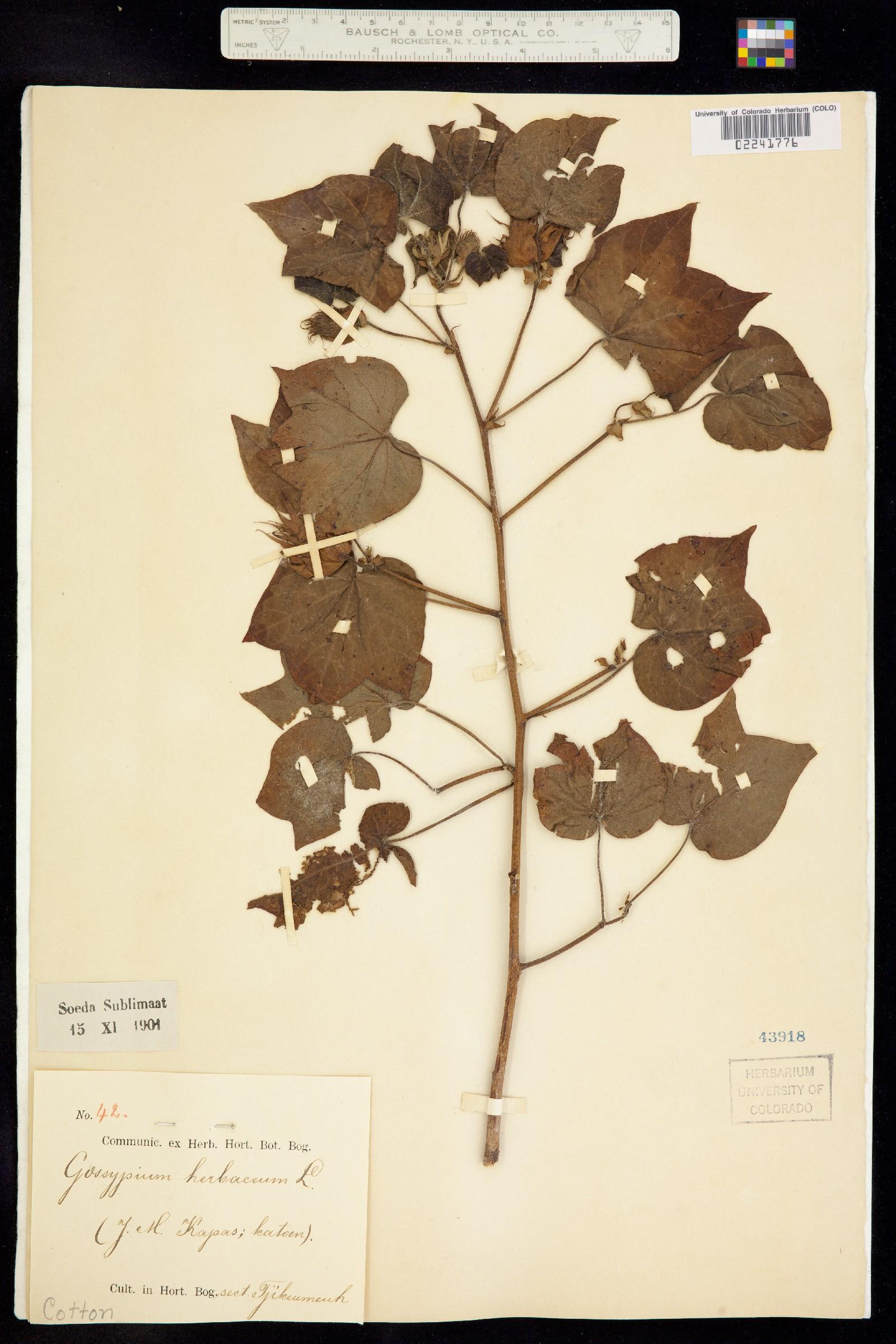 Gossypium herbaceum image