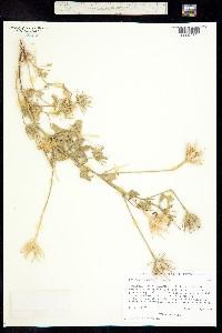 Hibiscus biseptus image