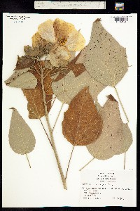 Image of Hibiscus californicus